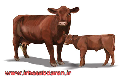 red-poll-cattle